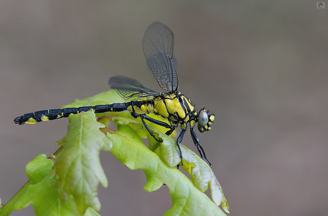 IMG_ Common clubtail  male