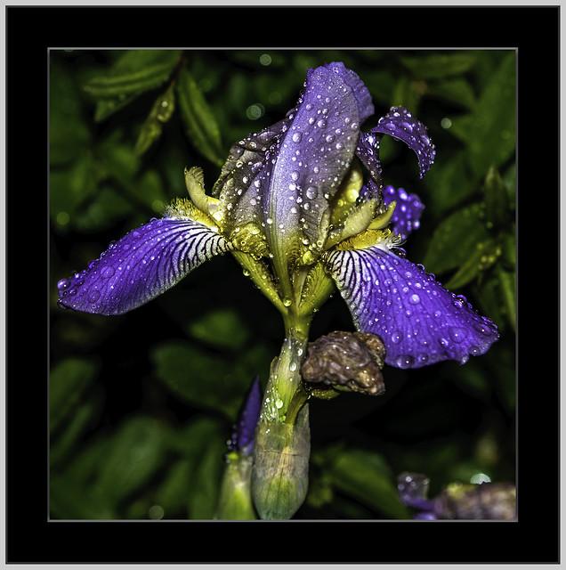 Iris – die Blume des Regenbogens