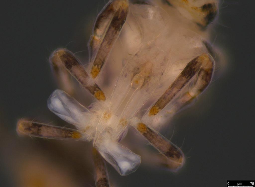3c - Sminthuridae sp.