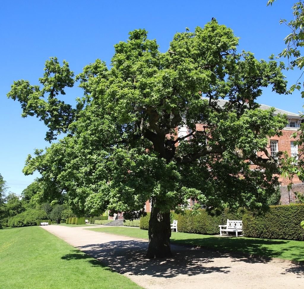 Variegated Oak (Duke of Cambridge Oak)- Beningbrough Hall