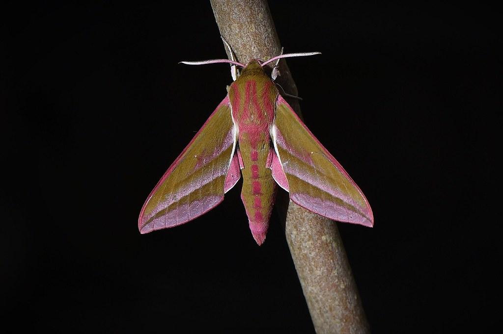 Elephant hawk moth caught in a moth trap