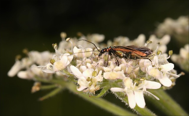 Shimmering Beetle