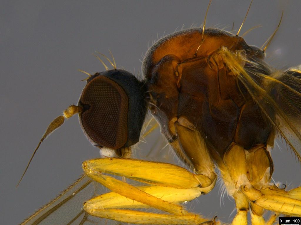 7b - Empididae sp.