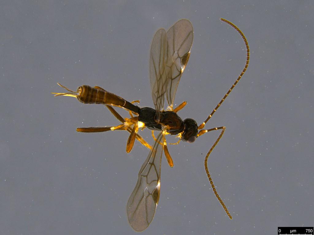 13 - Braconidae sp.