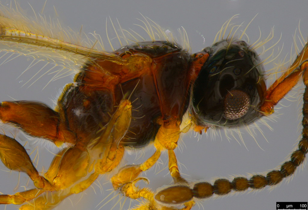 18b - Diapriidae sp.