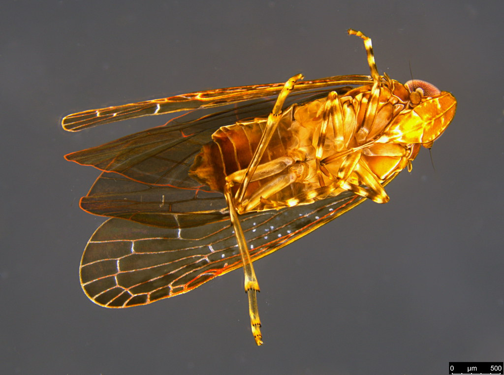 19b - Auchenorrhyncha sp.