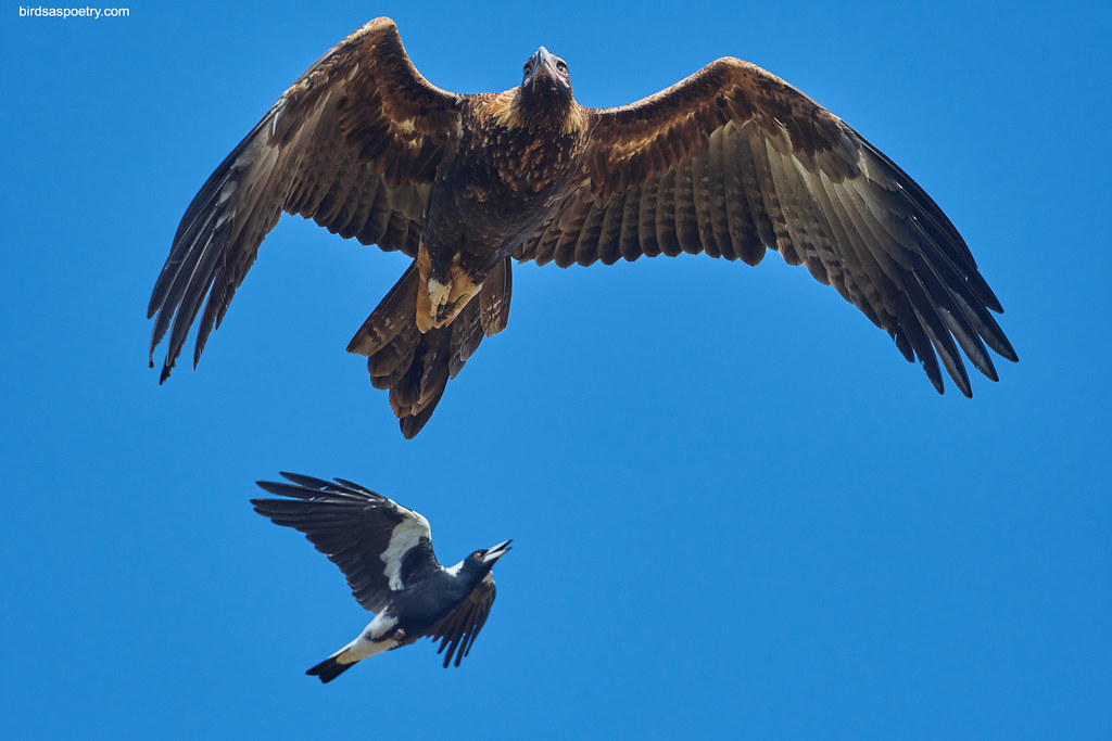 Wedge-tailed Eagle, Australian Magpie: You'll not Get Away that Easily