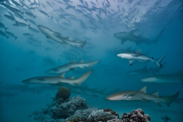 Tawny Nurse sharks and Grey Reef sharks