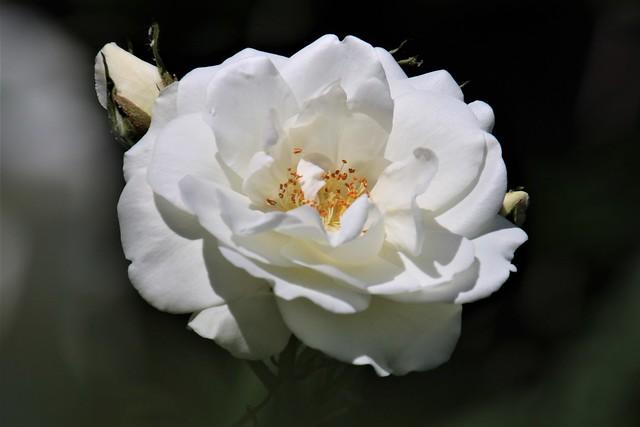 White Rose, Bedford 20210613