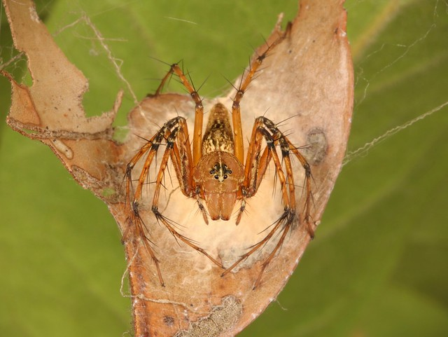 Female Lynx Spider (Hamadruas sp., Oxyopidae) on her egg sac