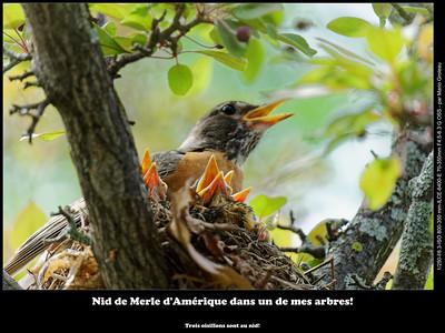 Nid de Merle d'Amérique dans un de mes arbres!