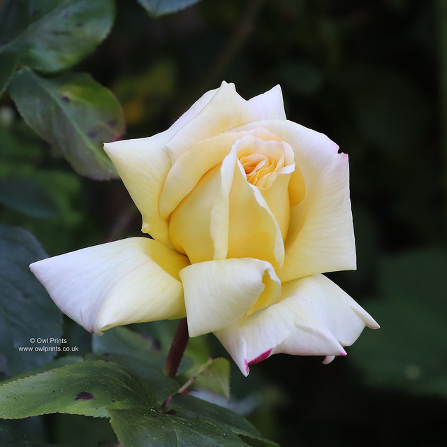 Rosa 'Highfield'
