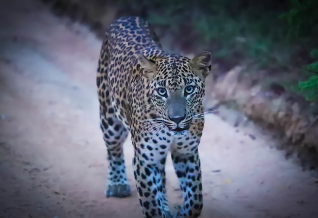 Common Name is Judy. Female Leopard notice at Yala National Park