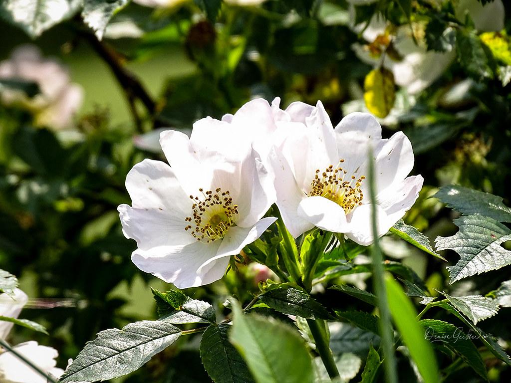 Ackerrose Blüten aufrecht
