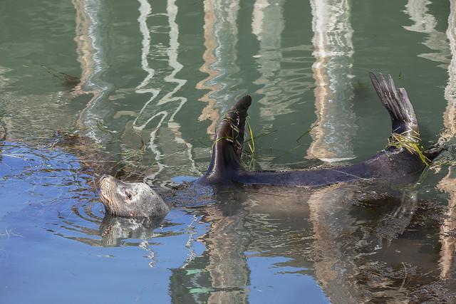 California Sea Lion Jugging Near the Pier