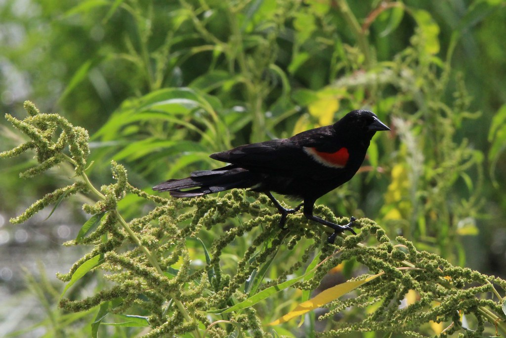 Red Wing Blackbird Anahauc NWR