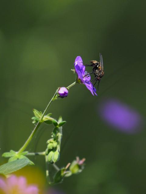 Hoverfly on Cranesbill