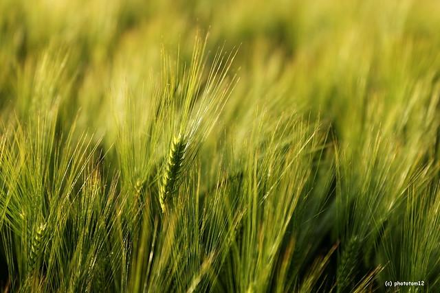 wachsendes Getreide im Abendlicht