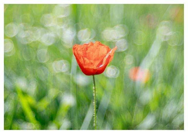 Poppy in green