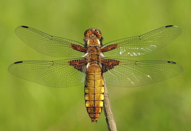 Broad-bodied Chaser (Libellula depressa) Female