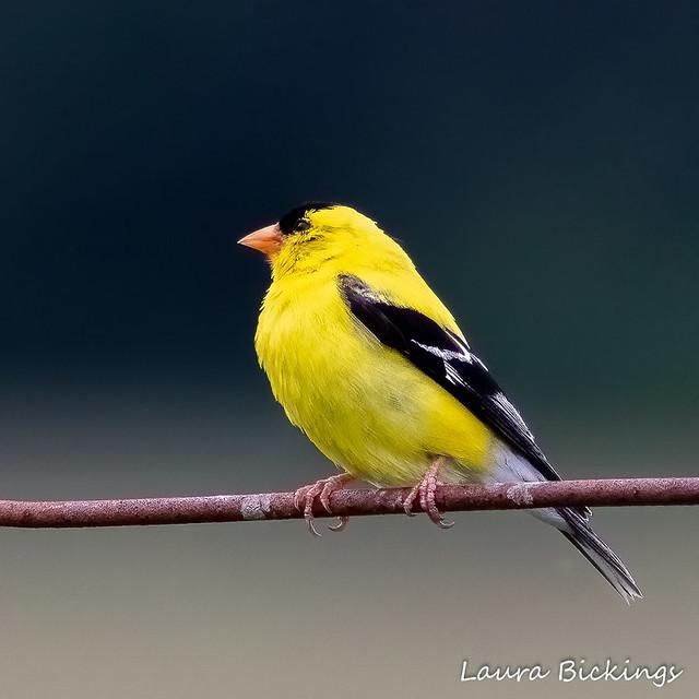 American Goldfinch #2-1
