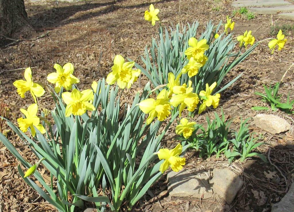 Daffodil solid yellow Azalea N of Elizabeth Salter and NE of Church PJM Daylily