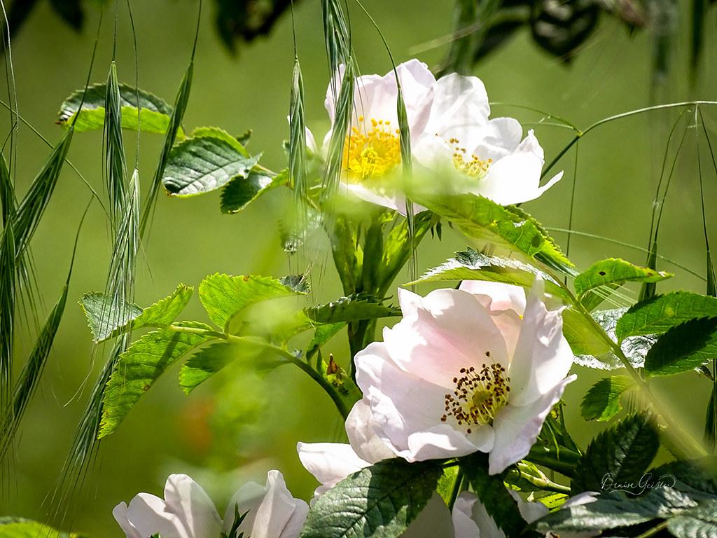 Ackerrose mit Taube Trespe
