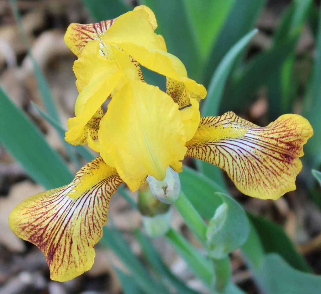 Iris Sans Souci MTB