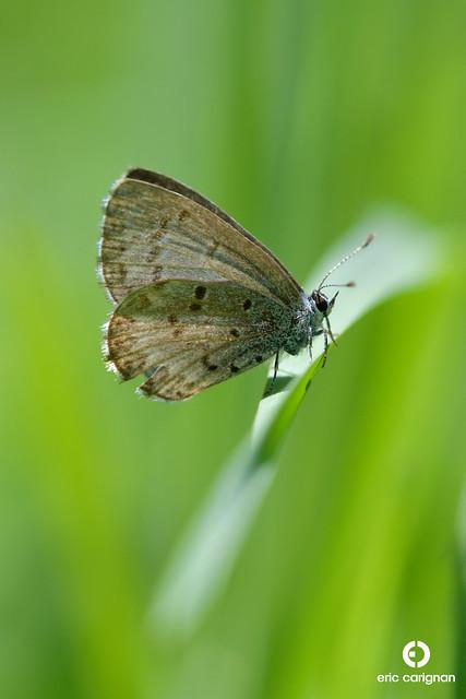 Azur printanier - Celastrina lucia