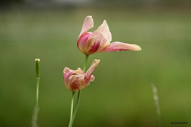 verblühte rosa-weisse Tulpen