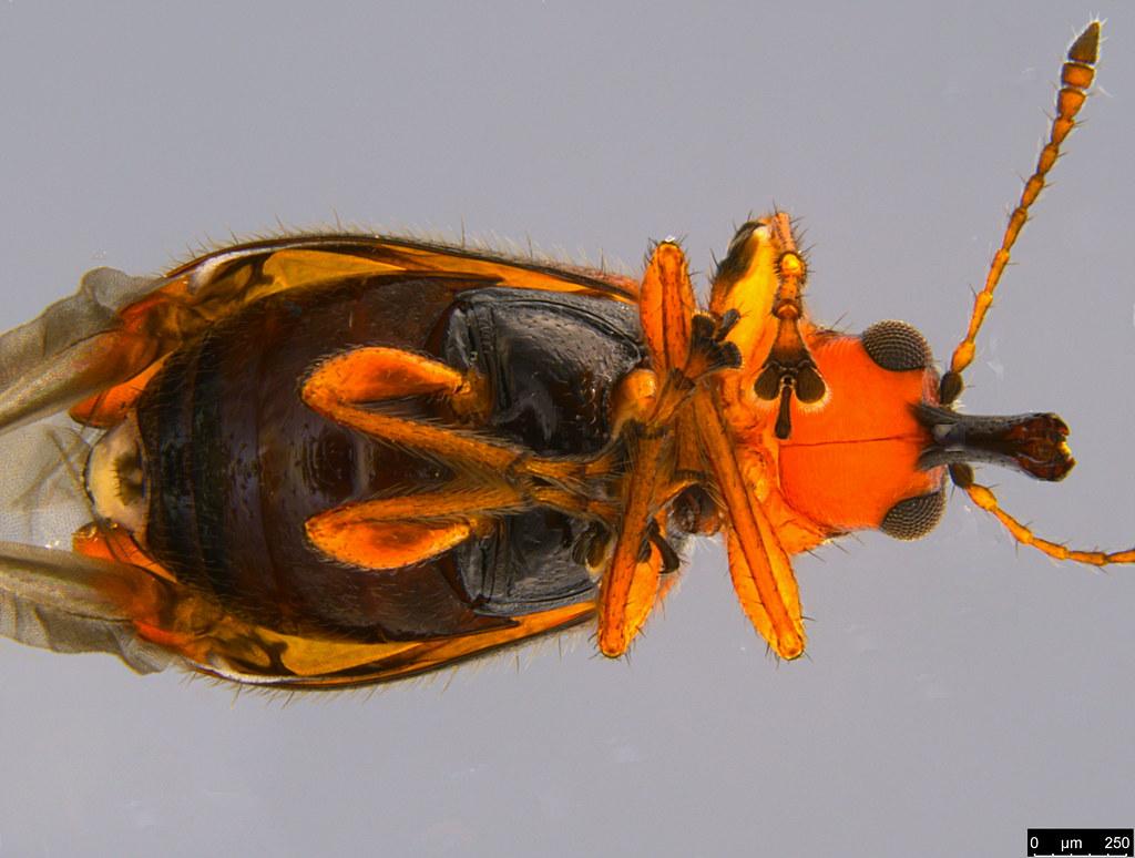 1c - Metopum sp.