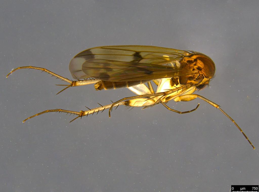 2b - Sciaroidea sp.
