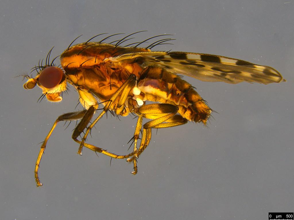 3a - Diplogeomyza maculipennis (Malloch, 1926)