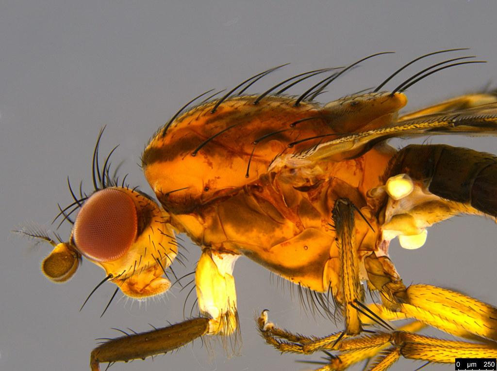 4b - Diplogeomyza maculipennis (Malloch, 1926)