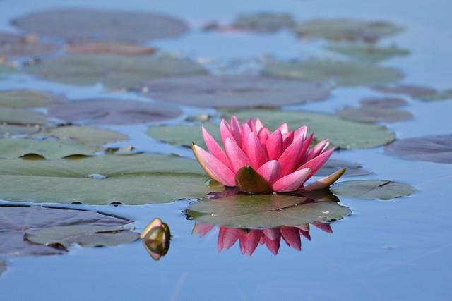 pink water lily (nymphéa)