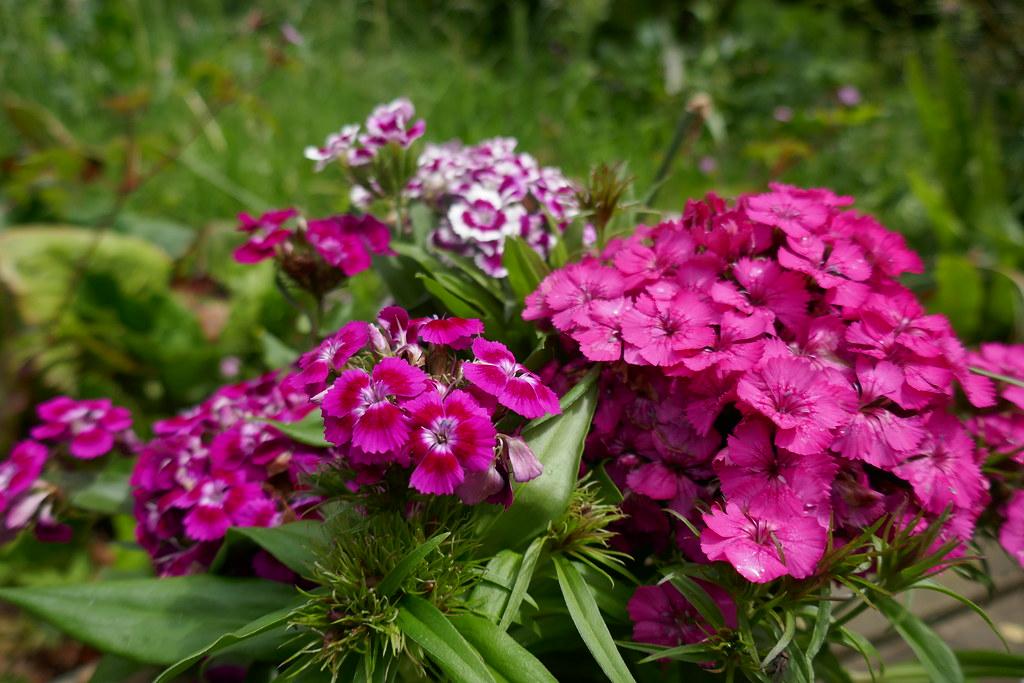 Au jardin, œillets de poètes (Dianthus Barbatus), Bosdarros, Béarn, Pyrénées Atlantiques, Nouvelle-Aquitaine, France.