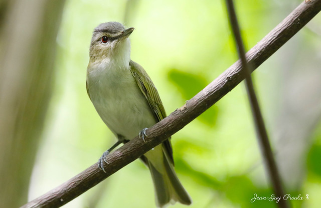 Viréo aux yeux rouges:  Red-eyed Vireo - Vireo olivaceus