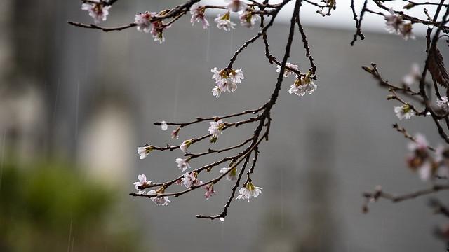 Mid winter blossom