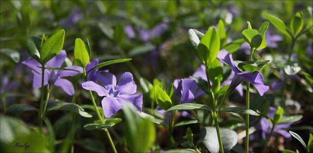 Petite fleur-Henri Salvador