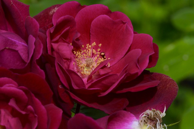 Roses 6/12/21