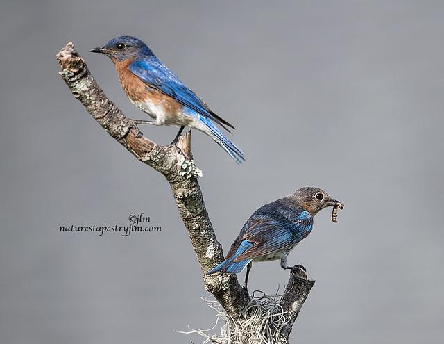 Eastern-Bluebirds-Mom-and-Dad