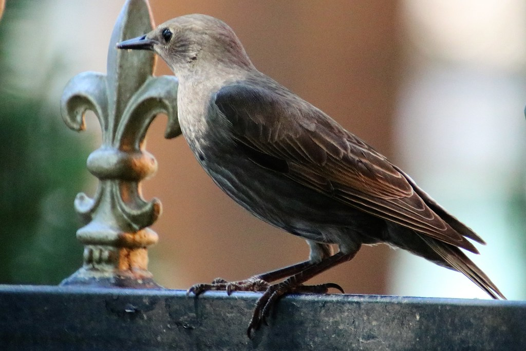 Young Starling,  Bedford 20210613