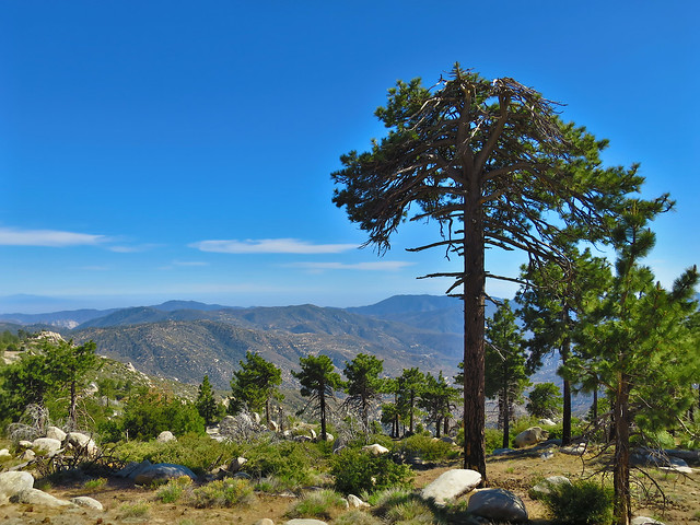 Old-growth Jeffrey Pine, Pacifico Mountain