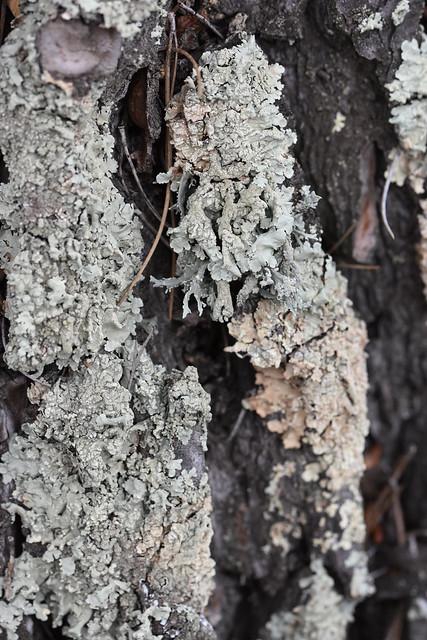 Líquenes sobre tronco de pino