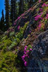 Rock Penstemon along High Rock Lookout Trail