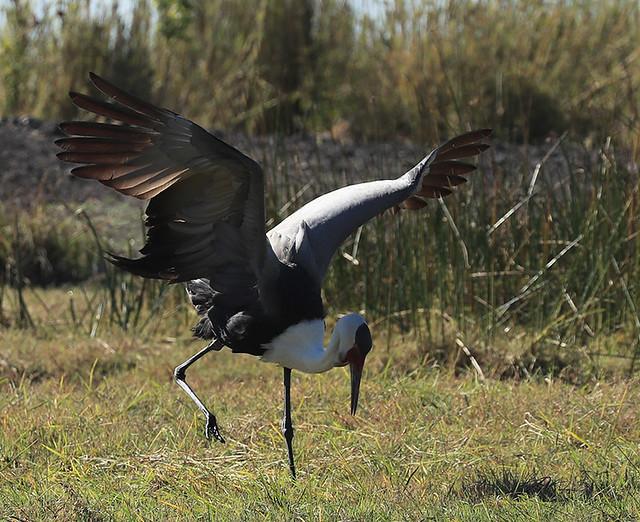 Wattled crane – mating dance – Kafue NP – Zambia