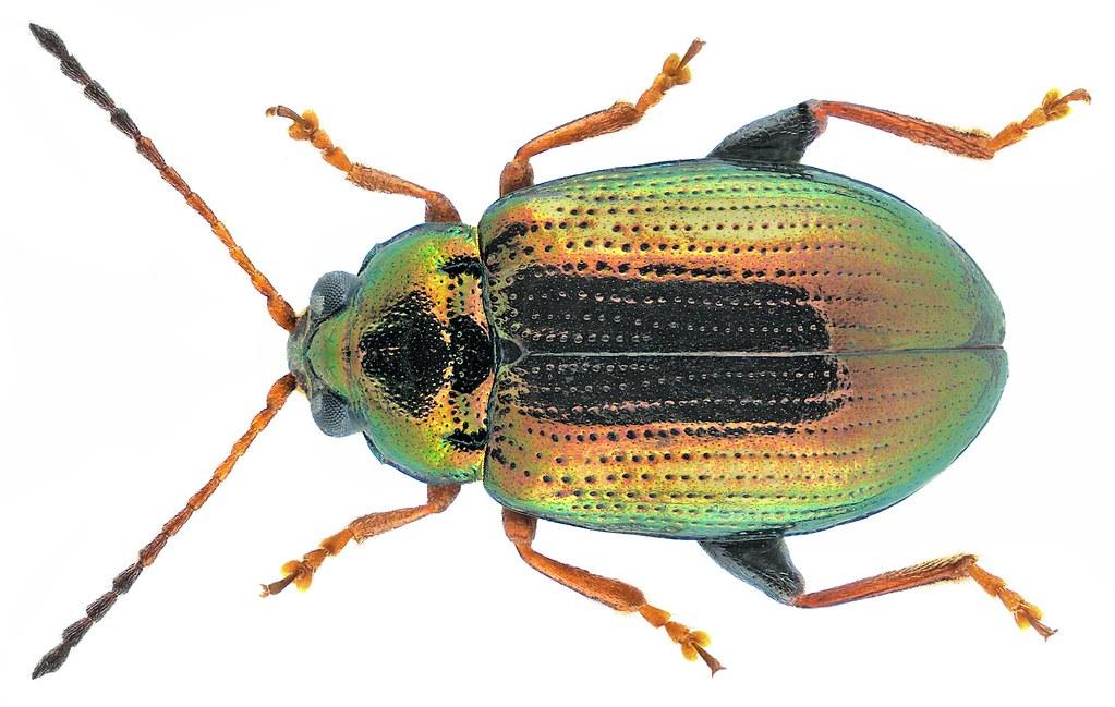 Crepidodera lamina (Bedel, 1901)