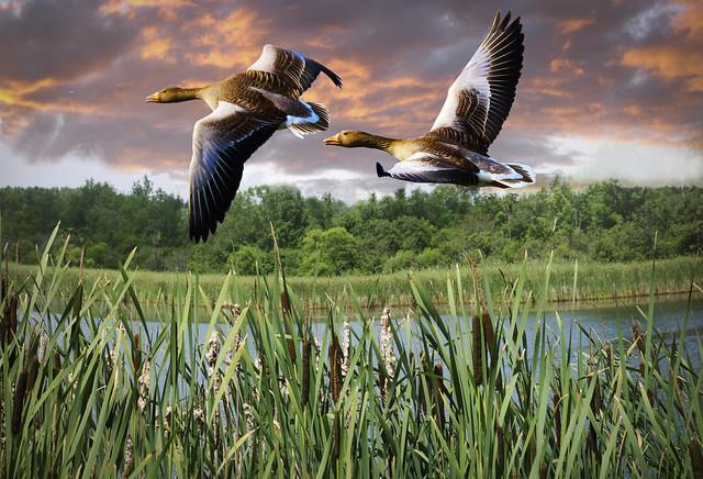European Ducks in an Upstate New York background