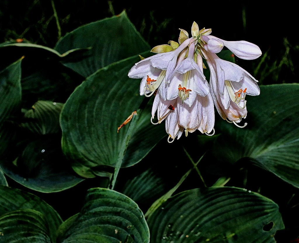 """Fragrant Plantain Lily ('Hosta plantaginea')"""