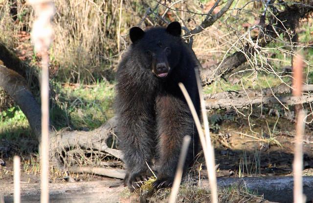 Black Bear On A Log
